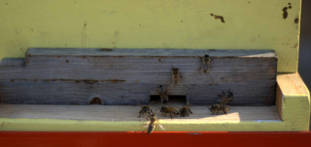 Bees at hive entrance10